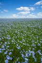Flax field, flax blooming, flax agricultural cultivation.