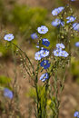 Flax linum lewisii a springtime mountain bloom Stock Photo