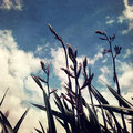 Flax plants and sky new zealand Royalty Free Stock Photography