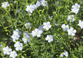 Flaxseed flowers linum usitatissimum crop in lush meadow Royalty Free Stock Images