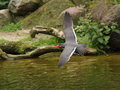 Flaying inca tern larosterna over water Royalty Free Stock Image