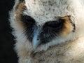 Fledgeling baby owl long eared barn owl Royalty Free Stock Photo
