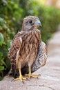 Fledgeling of eagle osprey Royalty Free Stock Photo