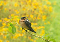Fledgling barn swallow sitting on a rose branch in summer rain Royalty Free Stock Photography