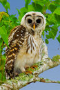 Fledgling Barred Owl Royalty Free Stock Photo