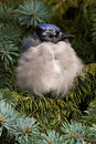 Fledgling Blue Jay Bird Stock Image