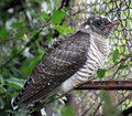 Fledgling cuckoo sitting on a twig cuculus canorus Stock Photography