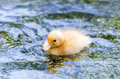Fledgling a cute yellow duck swimming in a pond Royalty Free Stock Images