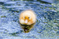 Fledgling a cute yellow duck swimming in a pond Royalty Free Stock Photography