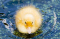 Fledgling a cute yellow duck swimming in a pond Stock Images