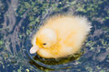 Fledgling a cute yellow duck swimming in a pond Stock Photo