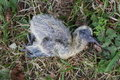 Fledgling dead bird baby fallen from nest and died young featherless in grass Stock Photography