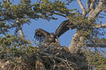 Fledgling eagle testing its wings in a nest near homer alaska Stock Photos