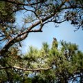 Fledgling Eagle on Top of a Pine Tree 2 Royalty Free Stock Photo
