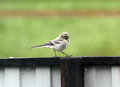 Fledgling of a white wagtail or motacilla alba the first walk young bird before flight Stock Image