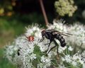 Flesh fly and beetles at summer time sideways shot of a some on white flower Stock Photography