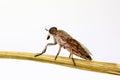 Flesh fly closeup macro shot of Royalty Free Stock Photo