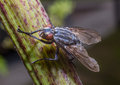 Flesh fly common united kingdom Stock Image