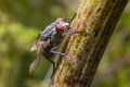 Flesh fly common united kingdom Royalty Free Stock Photography