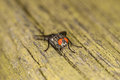 Flesh fly a on a wood texture Royalty Free Stock Images