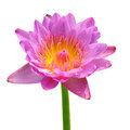 Fleur de lotus rose Images stock