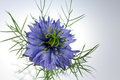 Fleur de Love-in-a-mist (damascena de Nigella) Images stock