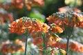 Fleur de Mère-de-millions Images libres de droits