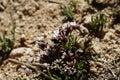 Fleur de ressort sur un flanc de coteau stérile dans ladakh inde Photographie stock