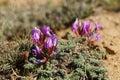 Fleur de ressort sur un flanc de coteau stérile ladakh inde Image libre de droits