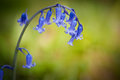 Fleur de source de Bluebell sur le fond vert Photo stock