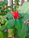 Fleur principale indienne de gingembre Photo stock
