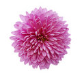 Fleur rose de chrysanthemum d'isolement sur le blanc Photo stock