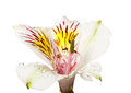 Fleurs d alstroemeria Photo stock