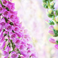 Fleurs de digitale ou de digitale d'été de source Image libre de droits