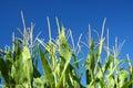Fleurs de maïs Photos libres de droits