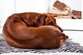Flexible Rhodesian Ridgeback dog turning round showing ridge Royalty Free Stock Photo