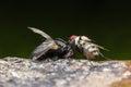 Flies cause diseases with prey Stock Photos