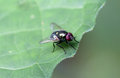The flies on a green leaf Royalty Free Stock Image