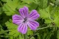 Flies on a purple flower