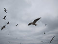 Flight of covey of gulls on a background sky. Royalty Free Stock Photo