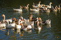 Flight of domestic geese Royalty Free Stock Photo
