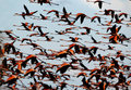 Flight of a flamingo in the sky. Royalty Free Stock Photo