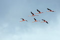 Flight of flamingos in a V-shaped formation. Royalty Free Stock Photo