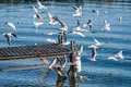 Flight of seagulls in the geneva harbour Royalty Free Stock Photography