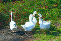 Flight of white geese on the meadow Royalty Free Stock Photo