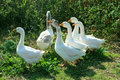 Flight of white geese in the yard Royalty Free Stock Photo