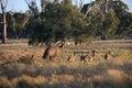 Flightless australian bird the emu in australia Royalty Free Stock Photography