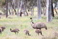 Flightless australian bird the emu in australia Stock Image