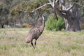 Flightless australian bird the emu in australia Stock Photography