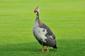 Flightless bird funny walking on grass Royalty Free Stock Images